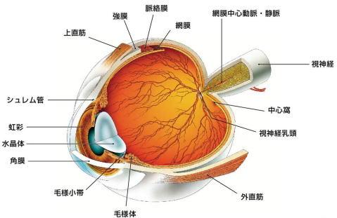 おが・おおぐし眼科【眼の構造と働き】